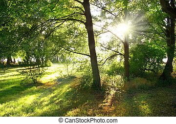raggi luminosi, attraverso, albero