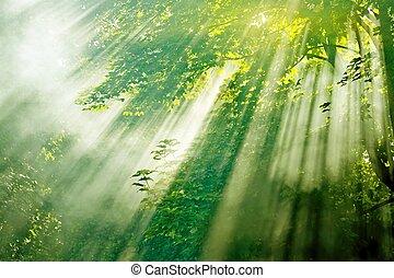 raggi sole, in, foresta nebbiosa