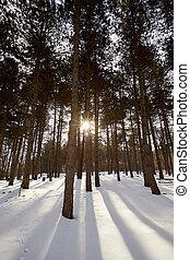 raggi sole, tramonto, inverno, foresta