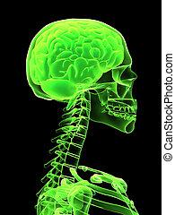 raggi x, testa, con, cervello