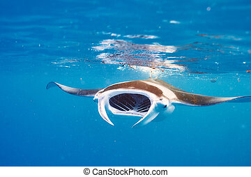 raggio, subacqueo, galleggiante, manta
