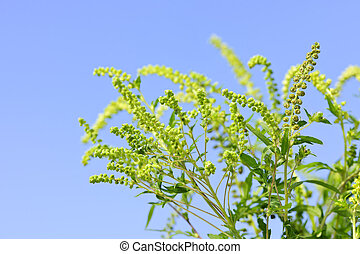 Ragweed plant - Flowering ragweed plant in closeup against...