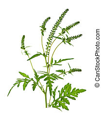 Ragweed plant in allergy season isolated on white...