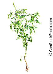 Ragweed plant with root isolated on white background, common allergen