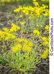 Ragwort blooming