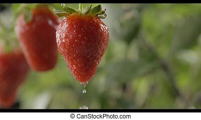 Rain dripping on the strawberry bush with large ripe red...