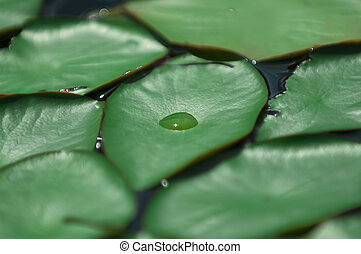 Rain Drop - Single drop of rain on a lily leaf
