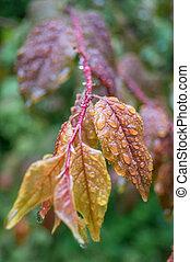 Rain droplets on a red leaf