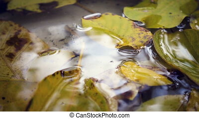 rain drops falling at the puddle with the yellow maple...