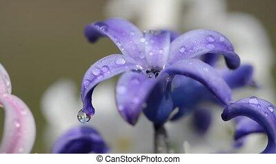 Rain drops falling on a spring flower Hyacinth. - Rain drops...