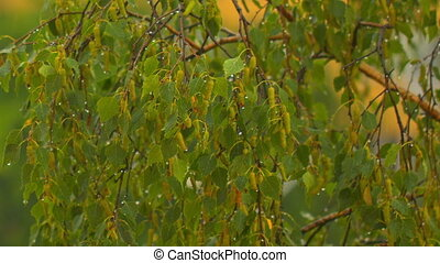 rain drops falling on green birch leaves