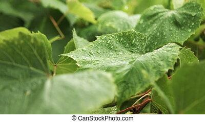 Rain drops falling on green leaves