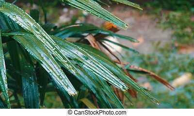 Rain drops flow down on palm leaves. Tropical Rain in Asian...