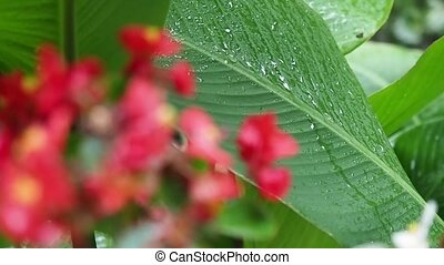Rain drops on a large green leaf of a plant. Blurred red flowers in front.