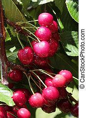 rain drops on cherries
