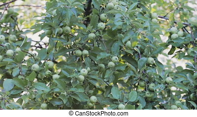 Rain drops on green apples - Raindrops on the branches of a...