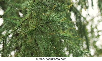 Rain drops on the branch of spruce.Close up.