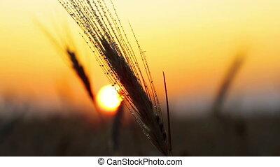 rain drops on the ear of wheat