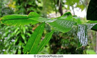 rain falling on banana leaf in Bali