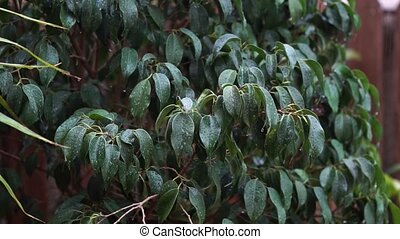 rain falling on dark green leaves of Ficus benjamina, a soft breeze stirred the leaves and raindrops fall in slow motion detail