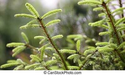 Rain falling on fir tree branches