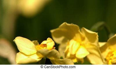 Rain falling on yellow flowers