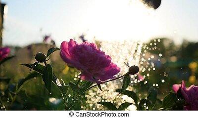 Rain falls on the beautiful flowers peonies. Summer...