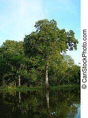 Rain forest trees at water banks on Rio Negro in the Amazon River basin, Brazil, South America