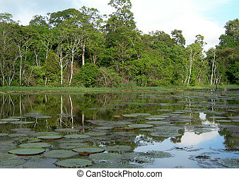 Rain Forest mirrored in a lagoon with lillies, on Rio Negro ...
