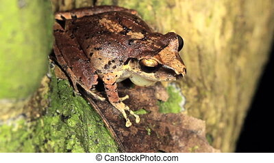 Rain Frog - Male rain frog (Pristimantis achatinus) calling...