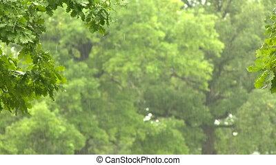 Rain in forest. Oak-tree