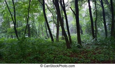 Rain in young, deciduous forest in Ukraine, stock footage with sound.