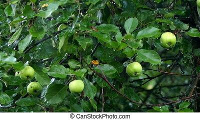 rain on apple