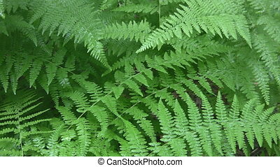 Rain on ferns. - Summer rain falling on fern leaves. Sound...