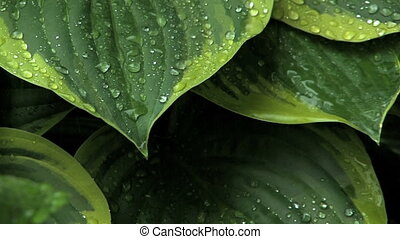 Rain on Leaves 1