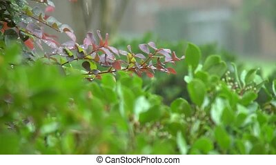 rain on red leafed branch - A red shrub branch is rained on...