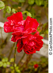 Rain on Red Roses