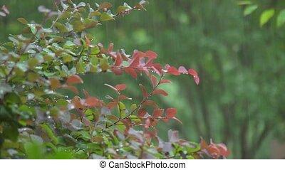 rain on shrub - It's raining on a red-tipped shrub.