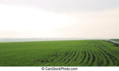 Rain on the fields , bright sky, background of winter wheat
