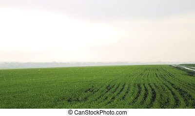 Rain on the fields , bright sky, background of winter wheat