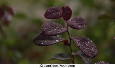 rain soaked branch - A burgundy colored branch of shrub...