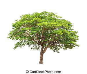 Rain tree (Albizia saman), tropical tree in the northeast of...