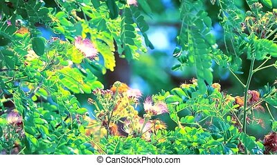 """""""Rain Tree, East Indian Walnut, Monkey Pod Large perennial plant, 15-20 meters high, with many branches, small leaves, pink flowers"""""""