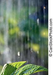 rain1 - rain in the sunshine falling on green hydrangea...