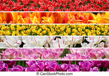beautiful rainbow colors of tulip`s field collage from red to pink
