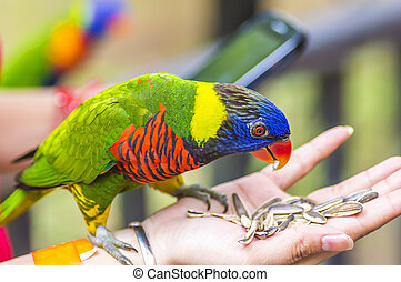 Rainbow Lorikeet Parrot - a very brightly colored parrot species