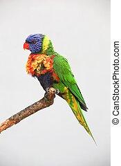 Rainbow Lorikeet sitting on a branch
