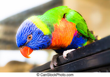 Rainbow Lorikeet sitting on the dry tree