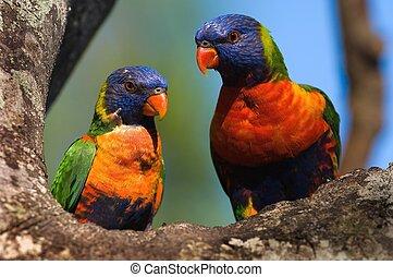 The Rainbow Lorikeet, Trichoglossus haematodus is a species of Australasian parrot found in Australia, eastern Indonesia (Maluku and Western New Guinea), Papua New Guinea, New Caledonia, Solomon Islands and Vanuatu.