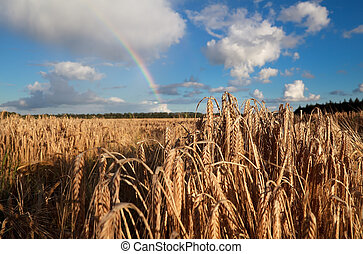 rainbow over summer wheat field
